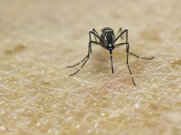 Aedes aegypti, mosquito transmissor de zika, dengue e chikungunya (Foto: Luis Robayo/AFP)