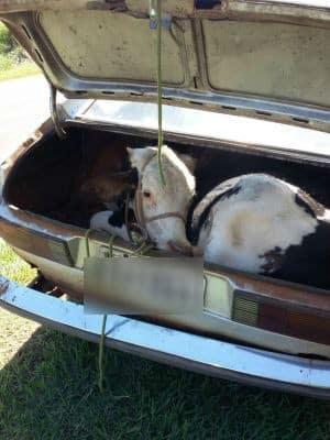 Animal foi colocado no porta-malas (Foto: J. Serafim / Divulgação