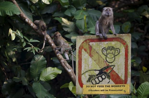 Macaco estava sentado em placa que alertava os visitantes não alimentarem os macacos (Foto: Edgar Su/Reuters)