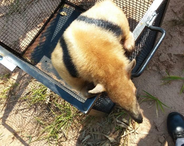 Animal foi solto na natureza após o resgate (Foto: Corpo de Bombeiros/ Divulgação)