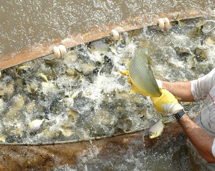 Duke Energy solta 80 mil peixes em Cândido Mota