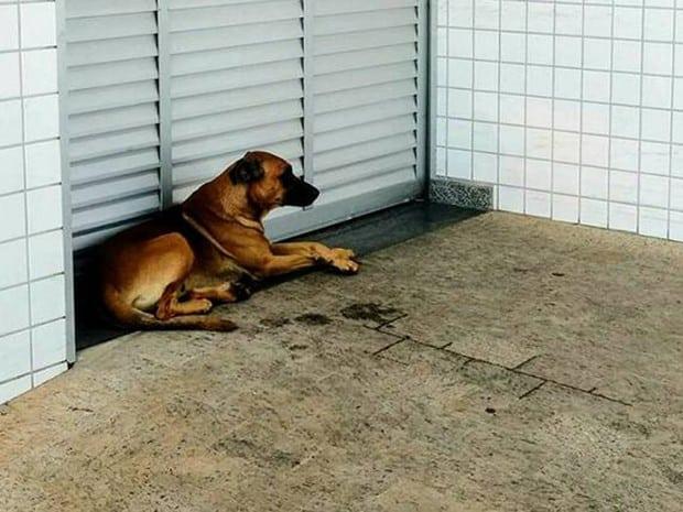 Cão aguardou dono que estava internado em UTI de hospital de Limeira (Foto: Reprodução Facebook/Alpa)