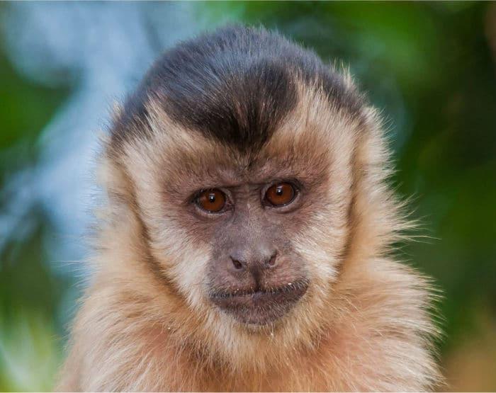 Macacos-prego não serão levados para Assis (Foto: Marcelo Calazans/VC no TG)